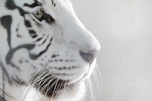 Zdjęcia Porträt Weißer Tiger