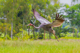 Eastern Sarus Crane (Grus antigone) which extinct in the wild in the 1980s poster