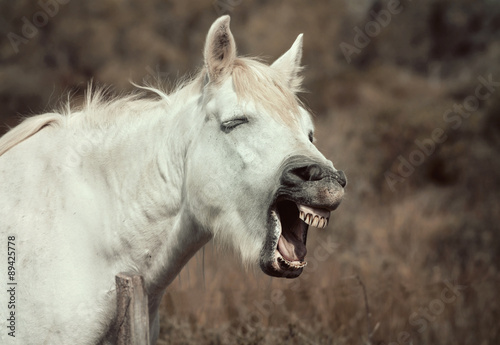 Neighing white horse