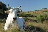 closeup of white tuscan cow on pasture with hills on the backgro