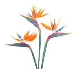 Bird of paradize flower - 89534314