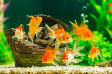 Złota rybka w akwarium z zielonych roślin