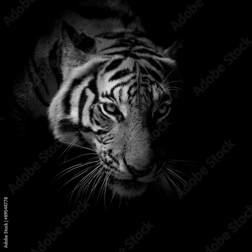 Poster black & white close up face tiger isolated on black background