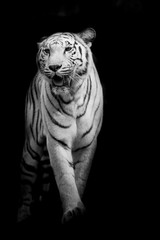 White tiger walking isolated on black background © art9858