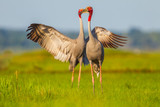 Sweet Eastern Sarus Crane (Grus antigone) playing each other poster