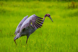 Eastern Sarus Crane (Grus antigone)   walking in the rice field poster