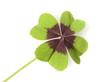 Leinwanddruck Bild - Gluecksklee, Oxalis tetraphylla, Vierblaettriger, Sauerklee