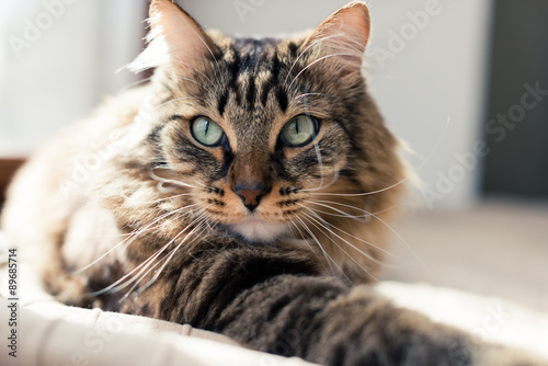obraz PCV Grey cat lying on bed