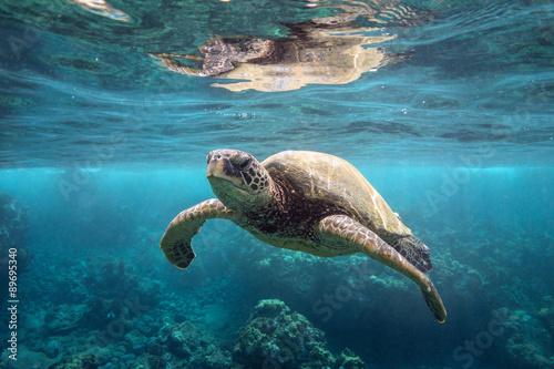 Zielony żółw morski na powierzchni