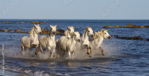 White Camargue Horses galloping along the beach in Parc Regional de Camargue - Provence, France © gudkovandrey
