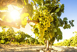 Fototapety White wine grapes in vineyard on a sunny day