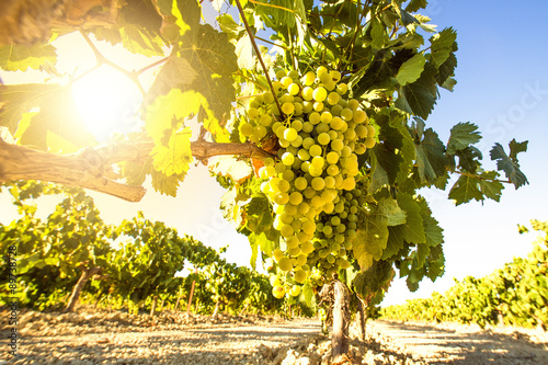 Plakat White wine grapes in vineyard on a sunny day