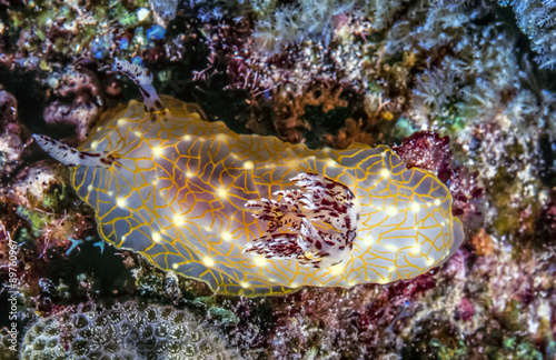 GOLD LACE NUDIBRANCH Halgerda