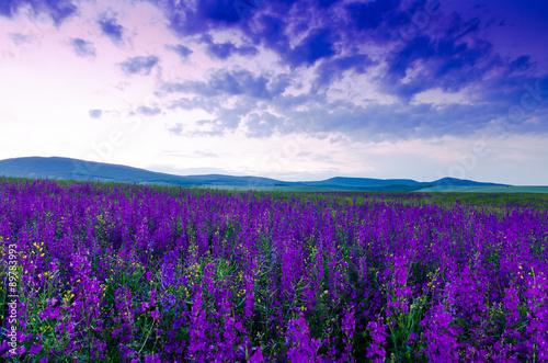 Fototapeta purple flower field in the night.