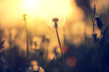Dandelion field over sunset background