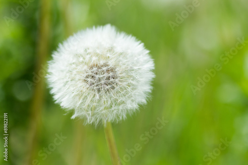 dandelion © fox17