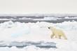 Polar Bear (Ursus maritimus) adult, walkin on melting icefloe, floe edge, Baffin Bay, Nunavut, Canada.