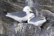 Black-legged kittiwake (Rissa tridactyla) pair nesting on cliff, Bylot island, Baffin bay, Nunavut, Canada.