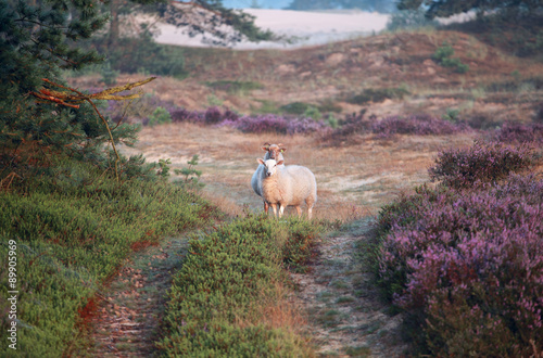 sheep in dunes with flowering heather in morning - 89905969