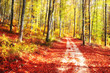 Autumn season color forest trees with colored sunny leaves on forest floor and road. Yellow, red and orange color autumn leaves on forest floor with glow effect.