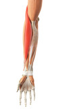 medically accurate illustration of the brachioradialis poster