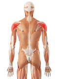 medically accurate illustration of the deltoid muscle poster