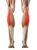medically accurate illustration of the gastrocnemius lateral head poster