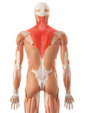 medically accurate illustration of the trapezius poster
