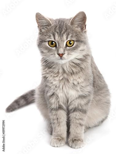 Naklejka Gray cat sitting on white