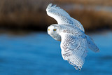 Snowy Owl in Flight over Blue Water
