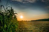Beautiful sunset, skyline and corn field