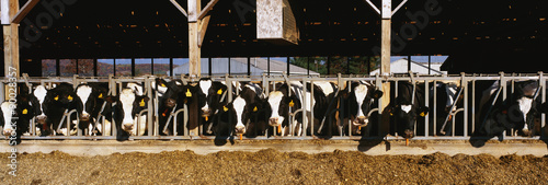 These are a large row of cows eating breakfast at a dairy farm. They are eating from their stalls in their barn. - 90028357