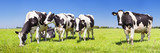 Fototapety Cows in a fresh grassy field on a clear day