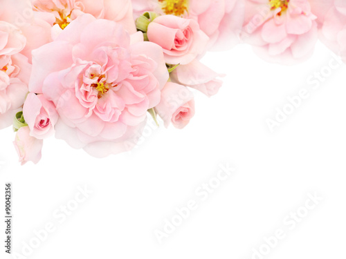 Fototapeta Pink roses and buds in the corner of the white background