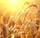 Fototapety Golden wheat field. Ears of wheat closeup. Harvest concept