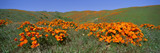 Poppies and Wildflowers, Antelope Valley, California