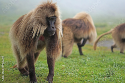 Poszter A small group of male gelada baboons high in the Simien Mountains