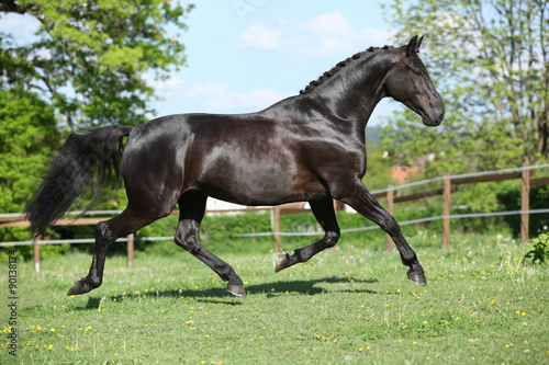 obraz PCV Amazing black dutch warmblood running