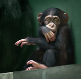 Baby chimpanzee looking in camera