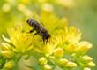 Obrazy na płótnie, fototapety, zdjęcia, fotoobrazy drukowane : Bee on yellow flower