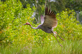 Eastern Sarus Crane (Grus antigone) flying in nature a poster