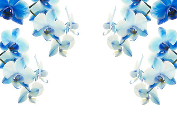 Blue orchids flowers on a white background