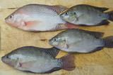 Aquaculture raising tilapia poster