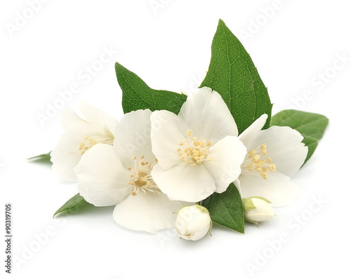 Fototapeta White flowers of jasmine