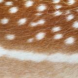 fallow deer real pelt texture poster