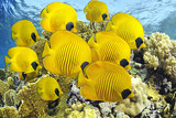 School of butterflyfishes over healthy reefs of Red Sea.