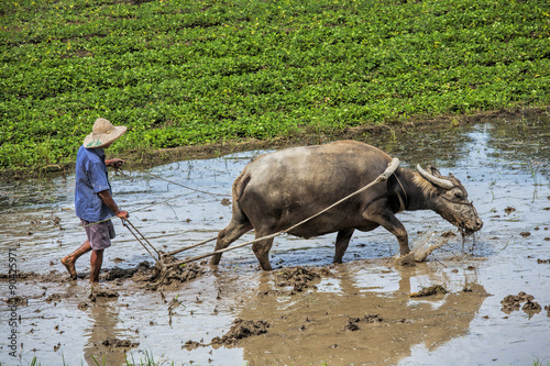 Papiers peints Guilin Traditional Chinese framer using an ox to plow a field for planting rice