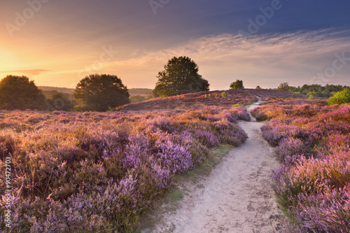 Path through blooming heather at sunrise in The Netherlands. - 90472703