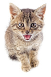Mewing gray striped kitten isolated poster