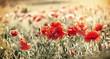 Red poppy flowers in meadow
